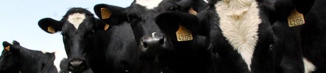 Buy a cow / Koop een koe